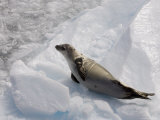 Crabeater Seal (Lobodon Carcinophagus), Lemaire Channel, Antarctic Peninsula, Antarctica Photographic Print by Sergio Pitamitz