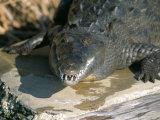 Crocodile, Black River, St. Elizabeth, Jamaica, West Indies, Central America Photographic Print by Sergio Pitamitz