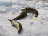 Crabeater Seals (Lobodon Carcinophagus), Lemaire Channel, Antarctic Peninsula, Antarctica Photographic Print by Sergio Pitamitz