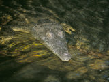 Crocodile, Black River, St. Elizabeth, Jamaica, West Indies, Central America Photographic Print by Sergio Pitamitz