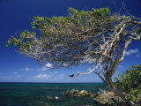 Divi Divi Tree, Cudarebe Point, Aruba, West Indies, Dutch Caribbean, Central America Photographic Print by Sergio Pitamitz