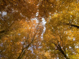 Beech Tree Forest in Autumn, Senne, Nordrhein Westfalen, Germany Photographic Print by Thorsten Milse