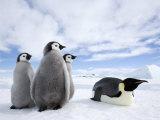 Emperor Penguin (Aptenodytes Forsteri) and Chicks, Snow Hill Island, Weddell Sea, Antarctica Photographic Print by Thorsten Milse