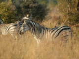 Zebras, Hwange National Park, Zimbabwe, Africa Photographic Print by Sergio Pitamitz