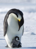 Emperor Penguin (Aptenodytes Forsteri) and Chick, Snow Hill Island, Weddell Sea, Antarctica Fotografiskt tryck av Thorsten Milse