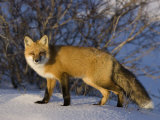 Redfox (Vulpes Vulpes), Churchill, Hudson Bay, Manitoba, Canada Fotografisk tryk af Thorsten Milse
