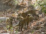 Bengal Tigers, Panthera Tigris Tigris, Bandhavgarh National Park, Madhya Pradesh, India Photographic Print by Thorsten Milse