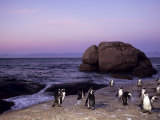 African (Jackass) Penguins, (Sphensiscus Demersus), Cape Town, South Africa, Africa Photographic Print by Thorsten Milse