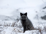 Silverfox (Red Fox) (Vulpes Vulpes), Churchill, Hudson Bay, Manitoba, Canada Photographic Print by Thorsten Milse