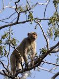 Rhesus Macaque Monkey (Macaca Mulatta), Bandhavgarh National Park, Madhya Pradesh State, India Stampa fotografica di Thorsten Milse