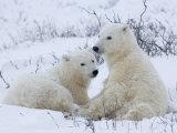 Polar Bears (Ursus Maritimus), Churchill, Hudson Bay, Manitoba, Canada Photographie par Thorsten Milse