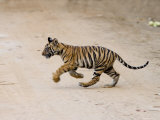 Indian Tiger Cub, Bandhavgarh National Park, Madhya Pradesh State, India Photographic Print by Thorsten Milse