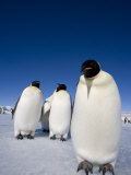 Emperor Penguins (Aptenodytes Forsteri), Snow Hill Island, Weddell Sea, Antarctica, Polar Regions Photographic Print by Thorsten Milse