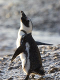 Jackass Penguin (African Penguin) (Spheniscus Demersus), Cape Town, South Africa, Africa Photographic Print by Thorsten Milse