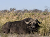 African Buffalo, Syncerus Caffer, Chobe National Park, Botswana, Africa Photographic Print by Thorsten Milse
