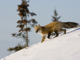 Redfox (Vulpes Vulpes), Churchill, Hudson Bay, Manitoba, Canada Photographic Print by Thorsten Milse