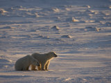 Polar Bear Cubs (Ursus Maritimus), Churchill, Hudson Bay, Manitoba, Canada Photographic Print by Thorsten Milse