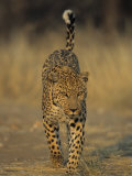 Leopard, Panthera Pardus, Duesternbrook Private Game Reserve, Windhoek, Namibia, Africa Photographic Print by Thorsten Milse