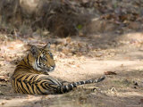 Bengal Tiger, Panthera Tigris Tigris, Bandhavgarh National Park, Madhya Pradesh, India Photographic Print by Thorsten Milse