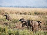 African Buffalos, Mana Pools National Park, Zimbabwe, Africa Photographic Print by Sergio Pitamitz