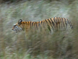 Female Indian Tiger, Bandhavgarh National Park, Madhya Pradesh State, India Photographic Print by Thorsten Milse