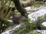 European River Otter, Lutra Lutra, Wildlife Preserve, Rheinhardswald, Germany Photographic Print by Thorsten Milse