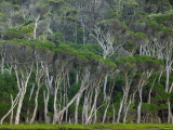 Eucalyptus Trees, Wilsons Promontory National Park, Victoria, Australia Photographic Print by Thorsten Milse