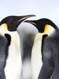Emperor Penguins (Aptenodytes Forsteri), Snow Hill Island, Weddell Sea, Antarctica, Polar Regions Photographic Print by Thorsten Milse