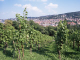 Vineyards at Karlshohe, on Hillside Near Stuttgart, Baden Wurrtemberg, Germany Photographic Print by Yadid Levy