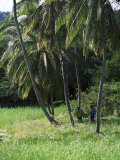 Man Climbing a Coconut Tree, Tobago, West Indies, Caribbean, Central America Photographic Print by Yadid Levy