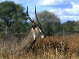 Waterbuck, Kobus Ellipsiprymnus, Khwai River, Botswana, Africa Photographic Print by Thorsten Milse