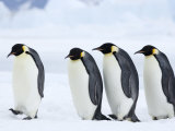 Emperor Penguins (Aptenodytes Forsteri), Snow Hill Island, Weddell Sea, Antarctica, Polar Regions Photographie par Thorsten Milse