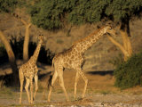 Giraffe Family, (Giraffa Camelopardalis), Kaokoveld, Namibia, Africa Photographic Print by Thorsten Milse