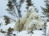 Polar Bear (Ursus Maritimus) Mother with Triplets, Wapusk National Park, Churchill, Manitoba Fotografiskt tryck av Thorsten Milse