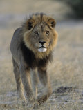 Lion (Panthera Leo), Chobe National Park, Savuti, Botswana, Africa Photographic Print by Thorsten Milse