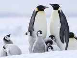 Emperor Penguins (Aptenodytes Forsteri) and Chicks, Snow Hill Island, Weddell Sea, Antarctica Lámina fotográfica por Thorsten Milse