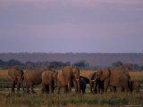 African Elephant, Loxodonta Africana, Chobe River, Chobe National Park, Botswana, Africa Photographic Print by Thorsten Milse