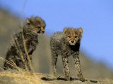 Cheetah Cubs, Acinonyx Jubatus, Duesternbrook Private Game Reserve, Windhoek, Namibia, Africa Photographic Print by Thorsten Milse