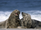 Grey Seal, Halichoerus Grypus, Heligoland, Schleswig-Holstein, Germany Photographic Print by Thorsten Milse