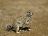 Cape Ground Squirrel, Xerus Inauris, Namibia, Africa Photographic Print by Thorsten Milse