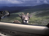 Big Horn Sheep Looking Through Car Window, Mt. Evans, Colorado, USA Photographic Print by James Gritz