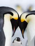 Emperor Penguins (Aptenodytes Forsteri) and Chick, Snow Hill Island, Weddell Sea, Antarctica Fotodruck von Thorsten Milse