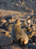 South African Fur Seal, Arcotocephalus Pusillus, Cape Cross, Namibia, Africa Photographic Print by Thorsten Milse