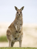 Eastern Grey Kangaroo (Macropus Fuliginosus), Marramarang National Park, New South Wales, Australia Photographic Print by Thorsten Milse