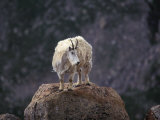 Mountain Goat on Peak, Mt. Evans, Colorado, USA Photographic Print by James Gritz