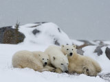 Polar Bears (Ursus Maritimus), Churchill, Hudson Bay, Manitoba, Canada Reproduction photographique par Thorsten Milse