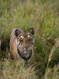 Indian Tiger, Bandhavgarh National Park, Madhya Pradesh State, India Photographic Print by Thorsten Milse