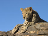 Young Leopard (Panthera Pardus), Namibia, Africa Photographic Print by Thorsten Milse