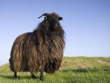 Domestic Sheep, Heligoland, Germany Papier Photo par Thorsten Milse