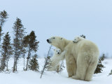 Polar Bear (Ursus Maritimus) Mother with Twin Cubs, Wapusk National Park, Churchill, Manitoba Photographic Print by Thorsten Milse